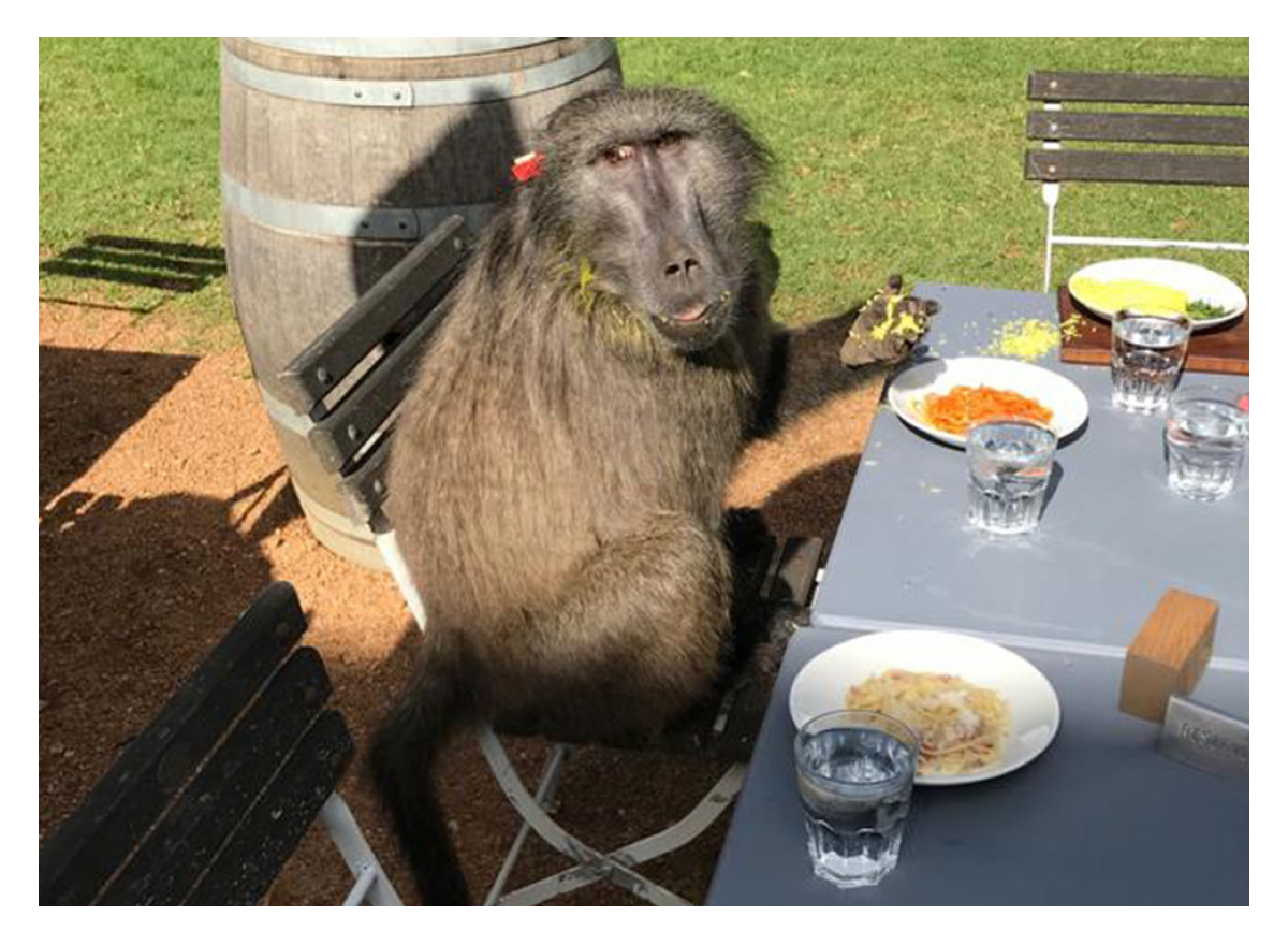Baboon walks into a bar